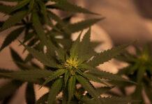 Sklep z nasionami marihuany i dyskrecja zakupów